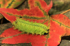Caterpillar and maple leaf. Green caterpillar on a red maple leaf Stock Image