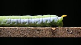 Caterpillar marchant sur le bâton en bois banque de vidéos