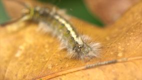 Caterpillar melenudo almacen de video