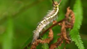 Caterpillar melenudo metrajes