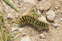 Caterpillar melenudo amarillo y negro que se arrastra en la grava imagen de archivo