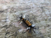 Caterpillar melenudo anaranjado y blanco negro Foto de archivo libre de regalías