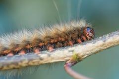 Caterpillar melenudo en cierre macro de la rama para arriba imagen de archivo
