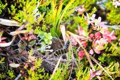 Caterpillar melenudo en hierba con las flores Fotografía de archivo libre de regalías