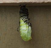 Caterpillar Metamorphosis Royalty Free Stock Image