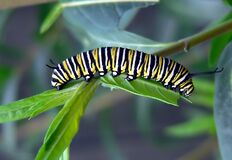 Caterpillar of Monarch Bufferfly. Royalty Free Stock Photos