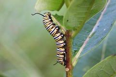 Caterpillar Monarch Butterfly. Feeding on Milkweed stock photo
