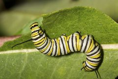 Monarch butterfly caterpillar on a milkweed leaf. Royalty Free Stock Image
