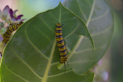 Caterpillar. Monarch Butterfly Caterpillar eating a leaf royalty free stock photos