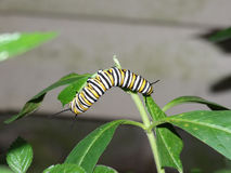 Caterpillar of the Monarch Butterfly Royalty Free Stock Photo