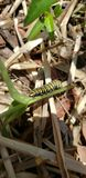 Caterpillar of a monarch butterfly stock images