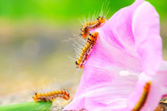 Caterpillar and morning glory. The caterpillars on the morning glory in the field Royalty Free Stock Photo
