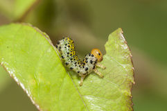 Caterpillar. Munching on a leaf inch by inch Royalty Free Stock Images
