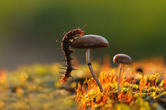 Caterpillar on mushroom. A caterpillar walk through the mushroom Stock Photo
