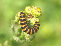 Caterpillar na kwiacie Fotografia Stock