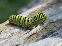 Caterpillar on nature Royalty Free Stock Image