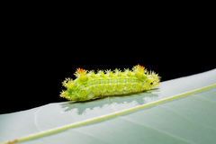 Caterpillar in nature Stock Photography