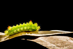 Caterpillar in nature Stock Image
