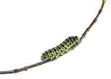 Caterpillar nero orientale (papilio polyxenes) Fotografia Stock