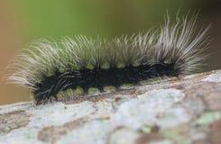 Caterpillar nero peloso che scala un albero Immagine Stock Libera da Diritti