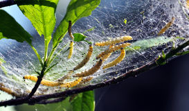 Caterpillar nest in the web_8 Stock Photos