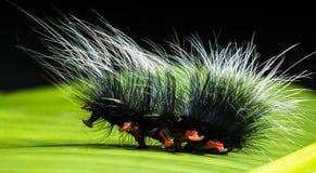 Caterpillar, Nimble Caterpillar Royalty Free Stock Images