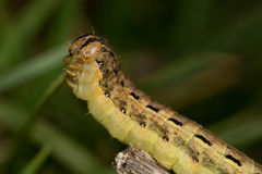 Caterpillar (Noctua pronuba). Eating grass Stock Photos