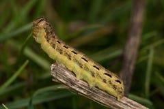 Caterpillar (Noctua pronuba). Eating grass Stock Images