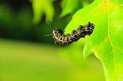 Caterpillar - noir avec les rayures jaunes - Anisota Peigleri photo libre de droits