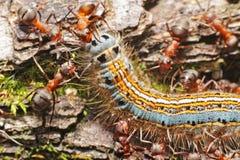 Caterpillar och myror Arkivfoto