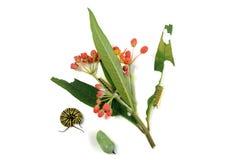 Caterpillar och puppa, monarkfjäril, bredvid växten Arkivfoton