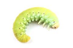 Caterpillar odizolowywający na bielu brzozy Sawfly Zdjęcia Stock