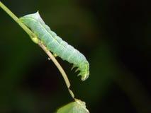 Caterpillar Of Butterfly Amphipyra Pyramidea. Royalty Free Stock Photo