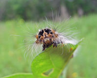 Caterpillar Of Drinker-moth Royalty Free Stock Images