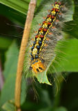 Caterpillar Of Gypsy Moth 3 Royalty Free Stock Photography