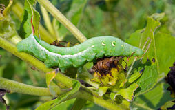 Caterpillar Of Hawkmoth 11 Stock Image
