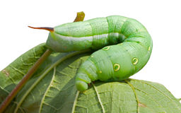 Caterpillar Of Hawkmoth 15 Stock Photo