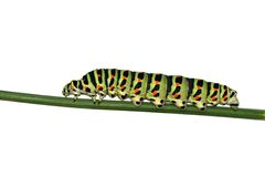 Free Caterpillar Of Swallowtail But Royalty Free Stock Images - 3052229