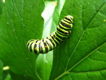 Caterpillar Of The Butterfly Machaon On The Leaf Royalty Free Stock Photography