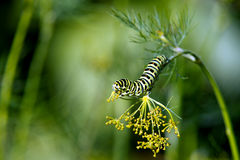 Caterpillar of the Old World Swallowtail (Papilio machaon). Likes the dill seeds in Uppland, Sweden stock image