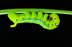 Caterpillar Oleander Hawk-moth Stock Photos