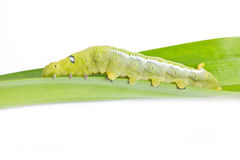 Caterpillar Oleander Hawk-moth. Stock Photos