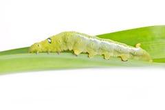 Caterpillar Oleander Hawk-moth. Stock Photos
