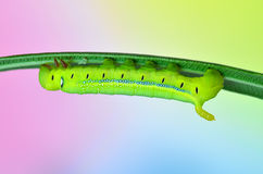 Caterpillar Oleander Hawk-moth und Royalty Free Stock Image