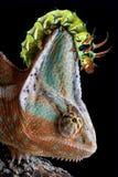 Caterpillar On Chameleon S Head Royalty Free Stock Image