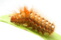 Free Caterpillar On Leaf Royalty Free Stock Image - 10275076