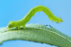Caterpillar op blad macrofoto Royalty-vrije Stock Fotografie