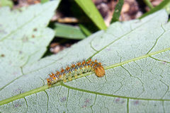 Caterpillar op een blad stock foto