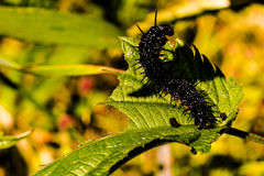 Caterpillar op een blad Royalty-vrije Stock Foto