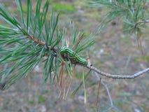 Caterpillar op een naaldboomtak Stock Foto's